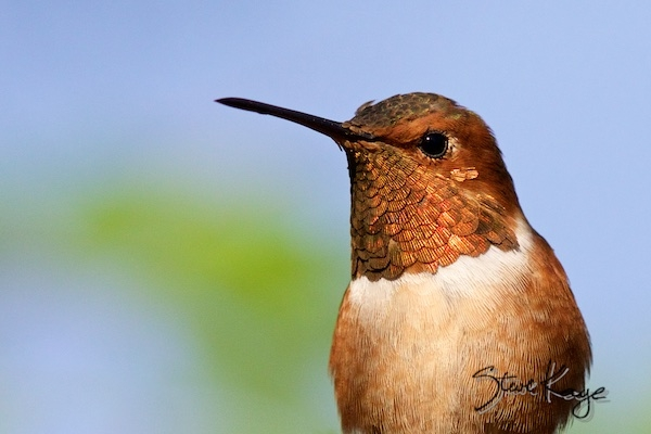 Allen's Hummingbird, Male, in Birds Up Close, (c) Photo by Steve Kaye