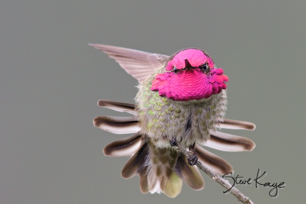 Anna's Hummingbird, Male, (c) Photo by Steve Kaye, in Steve Kaye's Annual Report for 2015