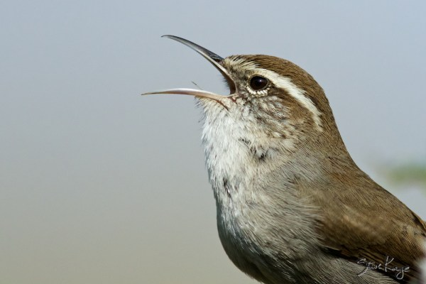Bewick's Wren Singing, Photo by Steve Kaye, in post: From Nothing to Something