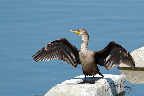 Double-crested Cormorant, in Funny Birds, (c) Photo by Steve Kaye