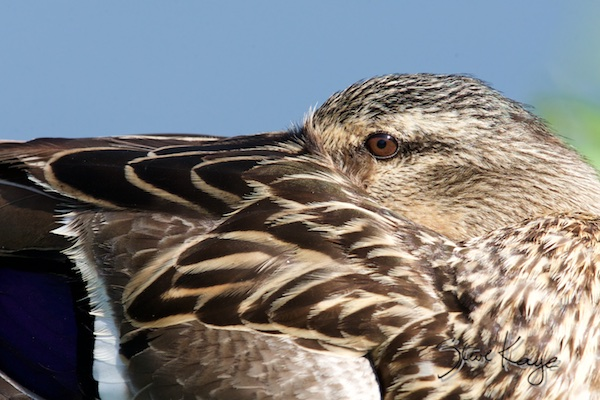 Mallard, Female, Close up, (c) Photo by Steve Kaye, in Steve Kaye's Annual Report for 2015