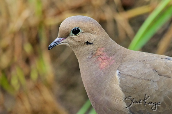 Mourning Dove, (c) Photo by Steve Kaye, in blog post Celebrate Ordinary