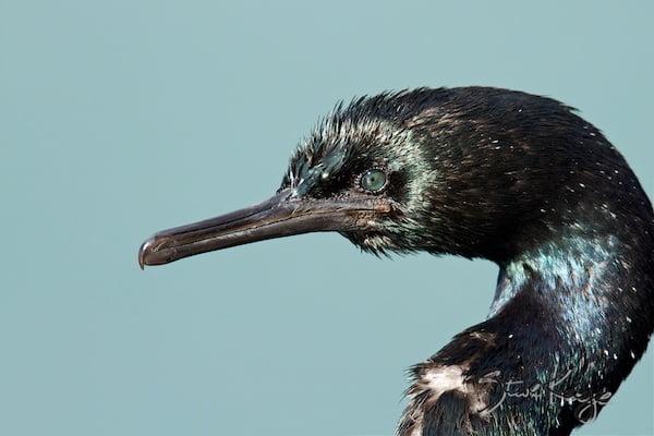 Pelagic Cormorant, in Birds Up Close, (c) Photo by Steve Kaye