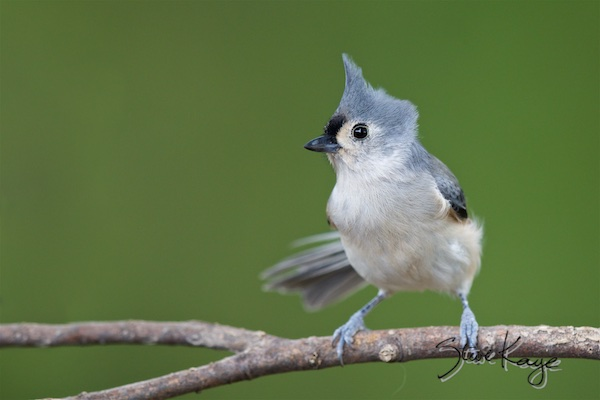 Tufted Titmouse, (c) Photo by Steve Kaye, in Steve Kaye's Annual Report for 2015