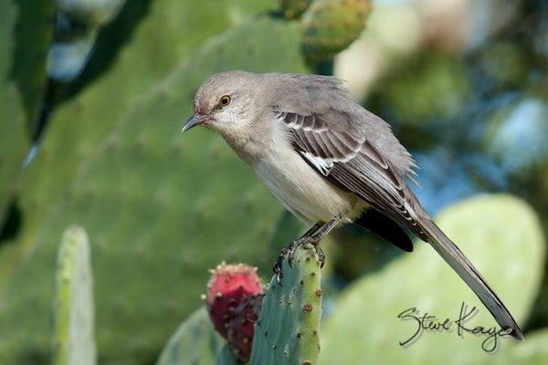 Northern Mockingbird, (c) Photo by Steve Kaye