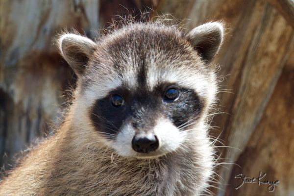 Raccoon, Juvenile, (c) Photo by Steve Kaye, in Wildlife Photos