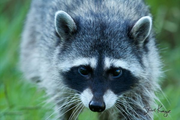 Raccoon, Adult, (c) Photo by Steve Kaye, in Wildlife Photos