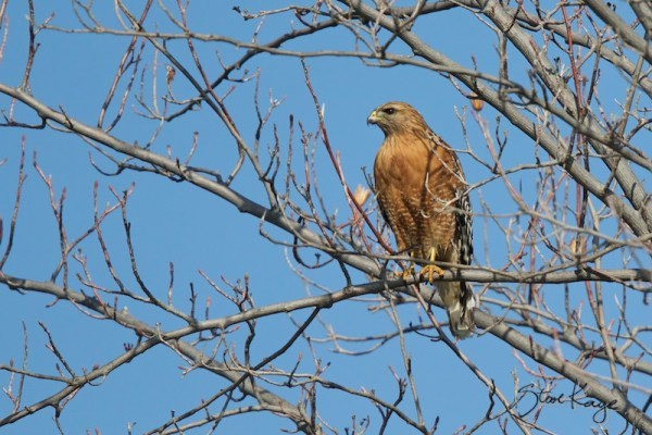 Red-shouldered Hawk, (c) Photo by Steve Kaye