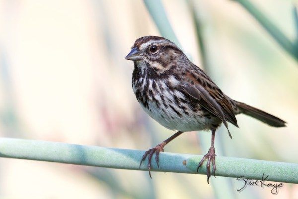 Song Sparrow, (c) Photo by Steve Kaye