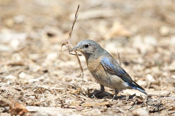 Western Bluebird, Female gathering nest material, WEBL, SIAMEX, Passeriformes, Turdidae, Sialia, S. mexicana, Scalia mexicana, (c) Photo by Steve Kaye