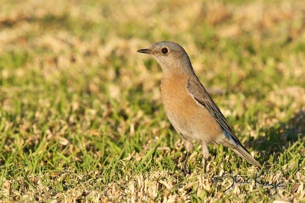 Western Bluebird, Female, WEBL, SIAMEX, Passeriformes, Turdidae, Sialia, S. mexicana, Scalia mexicana, (c) Photo by Steve Kaye