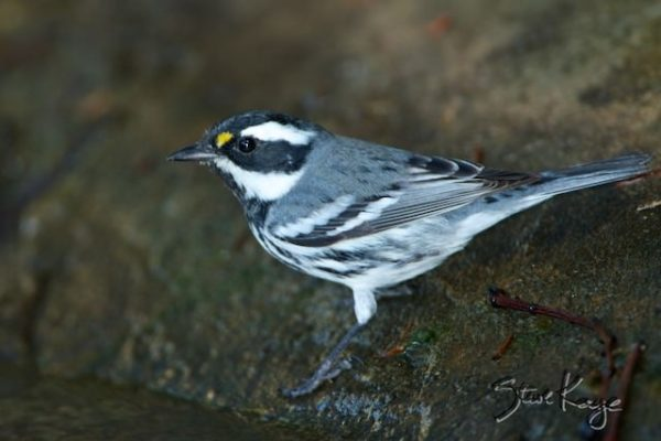 Black-throated Gray Warbler, (c) Photo by Steve Kaye