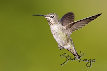 Anna's Hummingbird, Female, (c) Photo by Steve Kaye