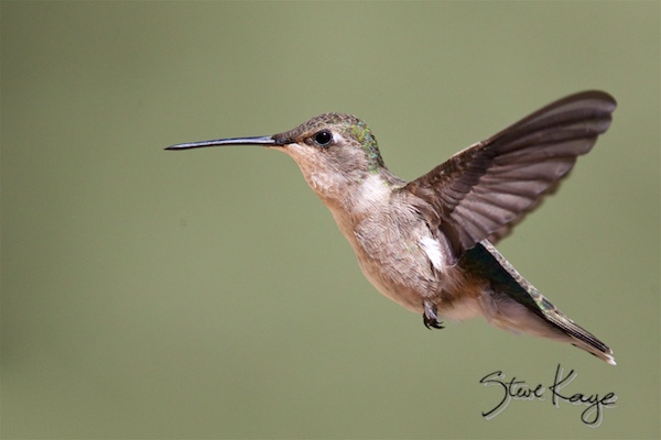 Black-chinned Hummingbird, Female, (c) Photo by Steve Kaye