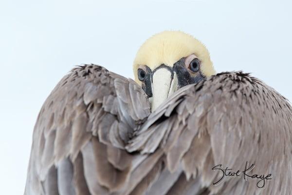 Brown Pelican, (c) Photo by Steve Kaye, in post: Bird Quiz: What Is This