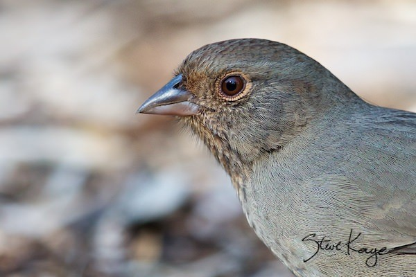 California Towhee, (c) Photo by Steve Kaye, in birds up close
