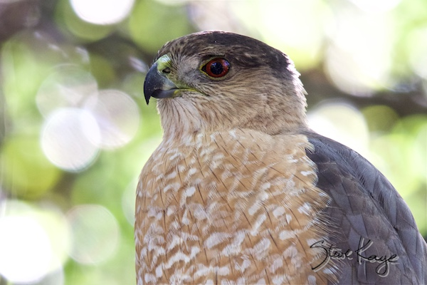 Cooper's Hawk, (c) Photo by Steve Kaye, in Post: Only One Good Answer