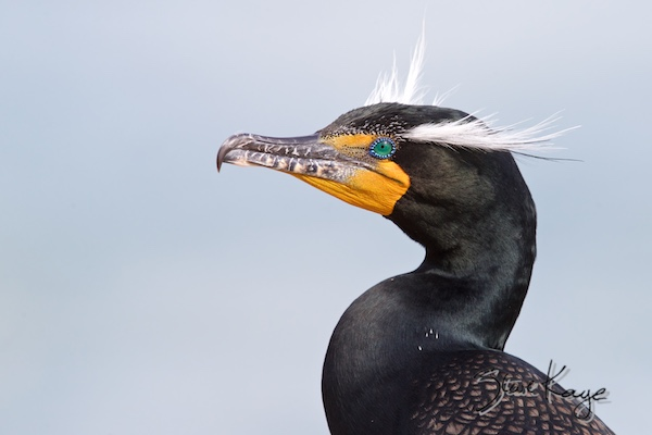 Double-crested Cormorant, (c) Photo by Steve Kaye, in Birds Up Close