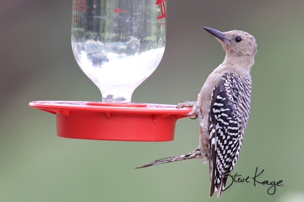 Gila Woodpecker, Female on Hummingbird Feeder, (c) Photo by Steve Kaye, in post: Not a Hummingbird Either