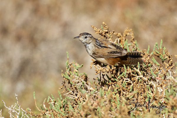 Marsh Wren, (c) Photo by Steve Kaye, in Post: How to Photograph a Marsh Wren