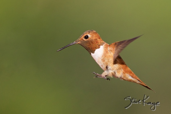 Rufous Hummingbird, Male, (c) Photo by Steve Kaye