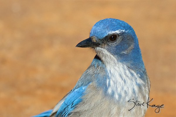 Woodhouse's Scrub-Jay, (c) Photo by Steve Kaye, in Mad Birds