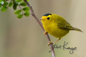 Wilson's Warbler, Male, (c) Photo by Steve Kaye, in 5 Ways to Help Birds