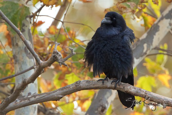Common Raven, in fluffed up birds, (c) Photo by Steve Kaye