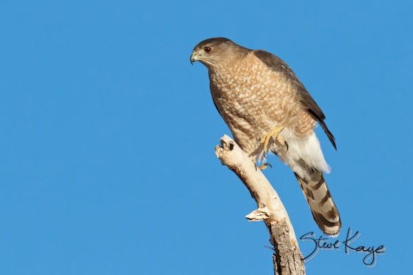 Cooper's Hawk, (c) Photo by Steve Kaye