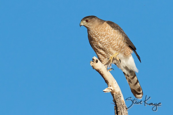 Cooper's Hawk, (c) Photo by Steve Kaye