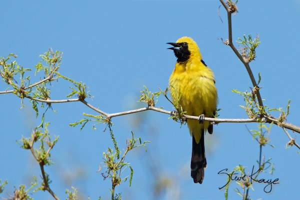 Hooded Oriole, Male, in fluffed up birds, (c) Photo by Steve Kaye