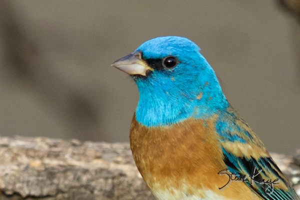 Lazuli Bunting, Male, (c) Photo by Steve Kaye, in Birds Up Close