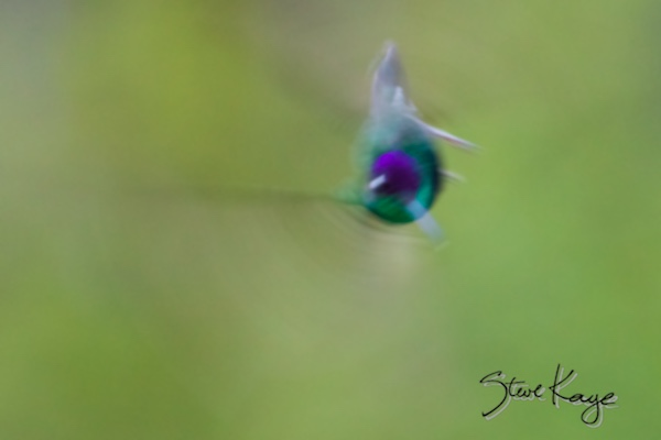 Magnificent Hummingbird, Male, Blame Ross for This, (c) Photo by Steve Kaye