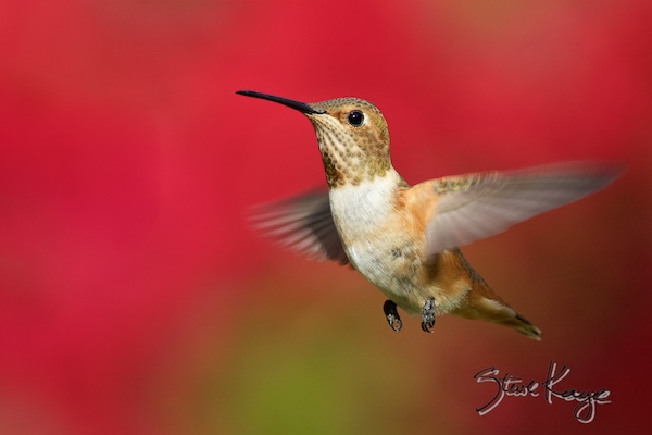 Allen's Hummingbird, Female, (c) Photo by Steve Kaye, in Publications / Articles by Steve Kaye