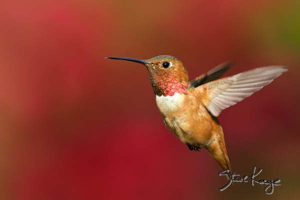 Allen's Hummingbird, Male, (c) Photo by Steve Kaye, in Hummingbirds