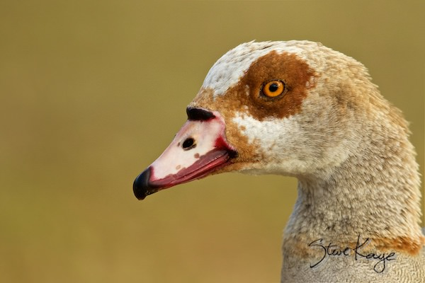 Egyptian Goose, Male, (c) Photo by Steve Kaye, in Meet Father Goose