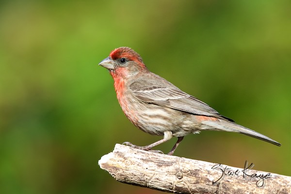 House Finch, Male, (c) Photo By Steve Kaye, In Meet The