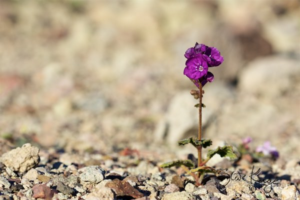 Phacelia, Death Valley, CA, (c) Photo by Steve Kaye, in Extraordinary Photo Class