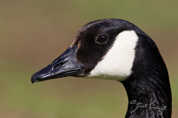 Canada Goose, © Photo by Steve Kaye, in Feathers Make the Goose