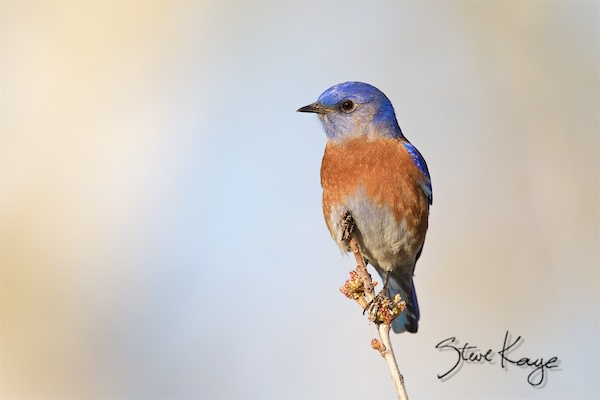 Western Bluebird, © Photo by Steve Kaye, in Green Business