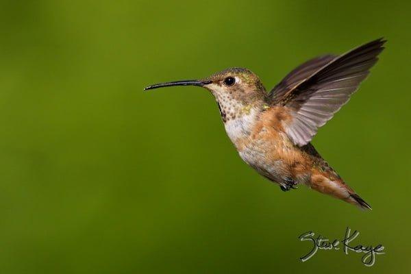 Allen's Hummingbird, © Photo by Steve Kaye, in Watchlist Birds