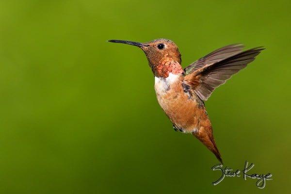 Allen's Hummingbird, Male, © Photo by Steve Kaye, in Watchlist Birds