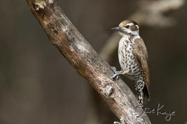 Arizona Woodpecker, Female, © Photo by Steve Kaye, in Watchlist Birds