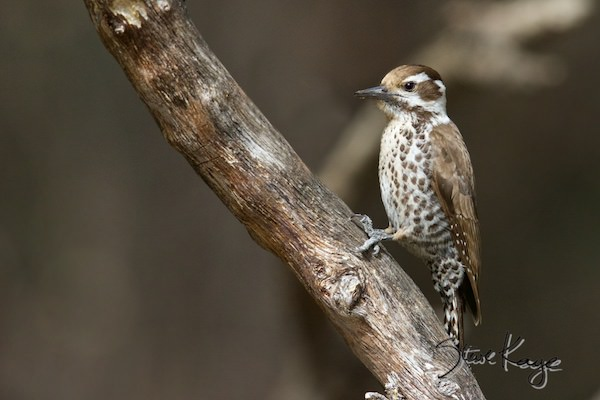 Arizona Woodpecker, Female, © Photo by Steve Kaye, in photo article: Watchlist Birds