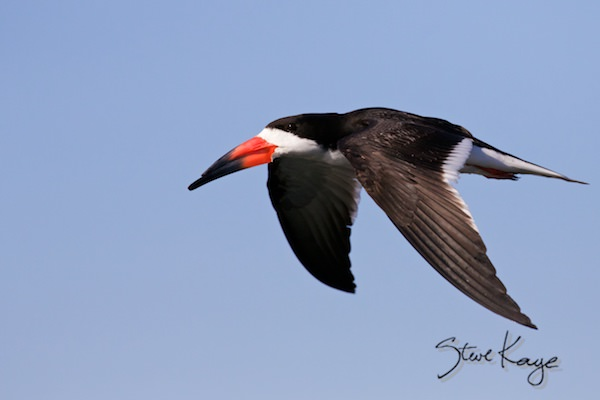 Black Skimmer, © Photo by Steve Kaye, in Meeting Planners, Hello and Welcome