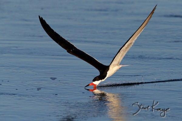 Black Skimmer, © Photo by Steve Kaye, in Watchlist Birds