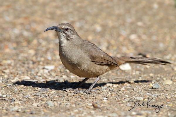 California Thrasher, © Photo by Steve Kaye, in Watchlist Birds