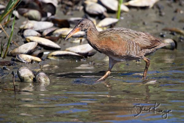 Light-footed Ridgway's Rail, © Photo by Steve Kaye, in Watchlist Birds