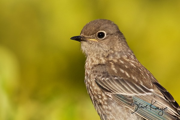 Western Bluebird, Juvenile, © Photo by Steve Kaye, in A Story in Every Face