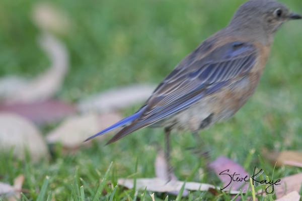 Western Bluebird, Female, (c) Photo by Steve Kaye, in The Truth about Bird Photography and a Goose Update